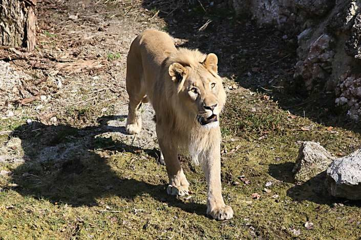 Löwe im Salzburger Zoo